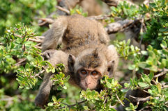Scimmia di macaque sorpresa Fotografie Stock Libere da Diritti