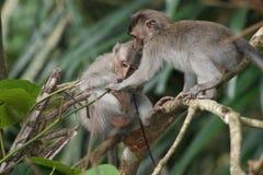 Scimmia di Makak in tempio di Bali, Indonesia fotografia stock