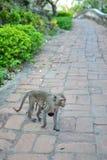 Scimmia di mamma Immagini Stock