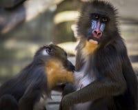 Scimmia di Mandrill Fotografia Stock