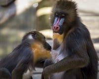 Scimmia di Mandrill Immagini Stock Libere da Diritti