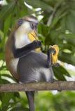 Scimmia di Mona (Cercopithecus Mona) in un albero Immagine Stock Libera da Diritti