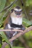 Scimmia di Mona (Cercopithecus Mona) in un albero Fotografia Stock