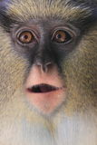 Scimmia di Mona di Campbell Fotografia Stock