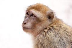 Scimmia di Morocan Immagini Stock Libere da Diritti
