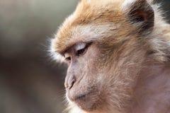 Scimmia di Morocan Fotografia Stock