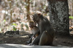 Scimmia di Mumbai Fotografia Stock