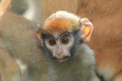 Scimmia di Patas Immagine Stock Libera da Diritti