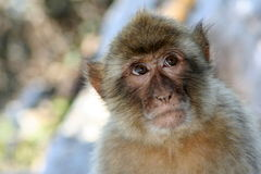 Scimmia di pensiero Fotografia Stock