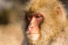 Scimmia di pensiero Fotografie Stock Libere da Diritti