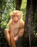 Scimmia di pensiero fotografia stock libera da diritti