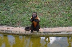 Scimmia di Prego Fotografia Stock