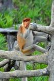 Scimmia di Proboscis Fotografie Stock