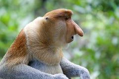 Scimmia di Proboscis Immagine Stock