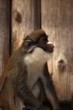 Scimmia di radiatore anteriore bianca di Leser Fotografia Stock Libera da Diritti
