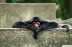 Scimmia di ragno Fotografie Stock