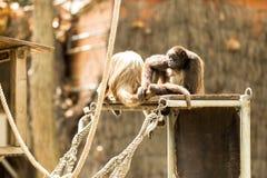 Scimmia di ragno Fotografia Stock