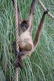 Scimmia di ragno del bambino Fotografia Stock Libera da Diritti