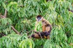 Scimmia di ragno del ` s di Geoffroy o scimmia di ragno nero-passata su un albero Immagine Stock