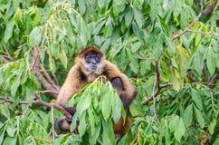 Scimmia di ragno del ` s di Geoffroy o scimmia di ragno nero-passata su un albero Fotografia Stock