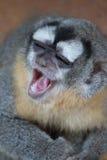 Scimmia di risata Immagini Stock