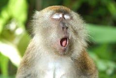 Scimmia di sbadiglio Fotografia Stock