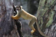 Scimmia di scoiattolo Fotografie Stock