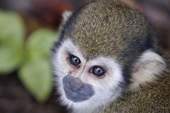 Scimmia di scoiattolo Fotografia Stock