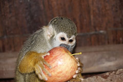 Scimmia di scoiattolo Fotografia Stock Libera da Diritti
