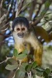 Scimmia di scoiattolo Fotografie Stock Libere da Diritti