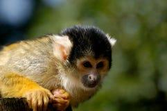 Scimmia di scoiattolo al giardino zoologico Immagine Stock