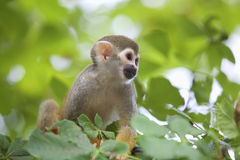 Scimmia di scoiattolo comune Fotografie Stock