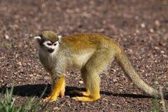 Scimmia di scoiattolo comune Fotografie Stock Libere da Diritti