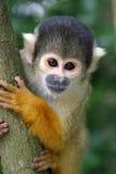 Scimmia di scoiattolo curiosa Immagine Stock