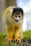 Scimmia di scoiattolo sveglia Immagine Stock Libera da Diritti