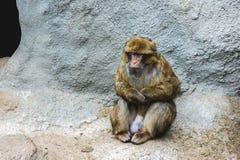 Scimmia di seduta Fotografia Stock