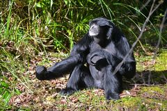 Scimmia di Siamang fotografia stock libera da diritti