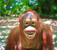 Scimmia di sorriso Fotografie Stock Libere da Diritti