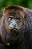 Scimmia di svarione Immagini Stock