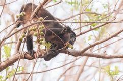 Scimmia di svarione Fotografia Stock