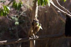 Scimmia di svarione che si siede un cibo del ramo di albero Immagini Stock