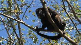 Scimmia di svarione nera stock footage