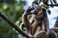 Scimmia di svarione nera Fotografia Stock