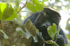 Scimmia di svarione nera, Belize Fotografie Stock Libere da Diritti