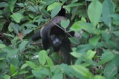 Scimmia di svarione nera che oscilla sui rami Fotografia Stock Libera da Diritti