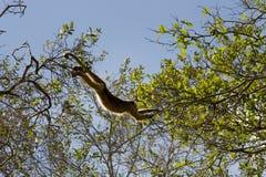 Scimmia di svarione in pantanal, Brasile Fotografie Stock