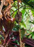 Scimmia di Tarsier su bambù fotografia stock libera da diritti