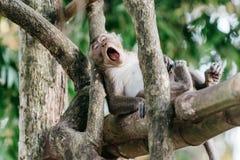 Scimmia di tempo libero Immagine Stock