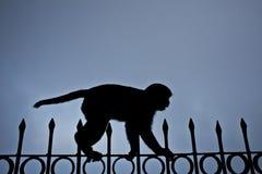 Scimmia di Tighrope Fotografie Stock