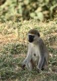 Scimmia di Vervet Immagini Stock